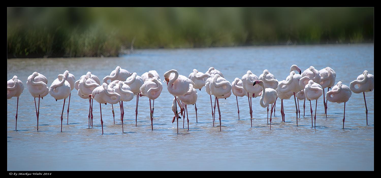 Flamingo-Breitbild