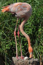 Flamingo - Eierrollen