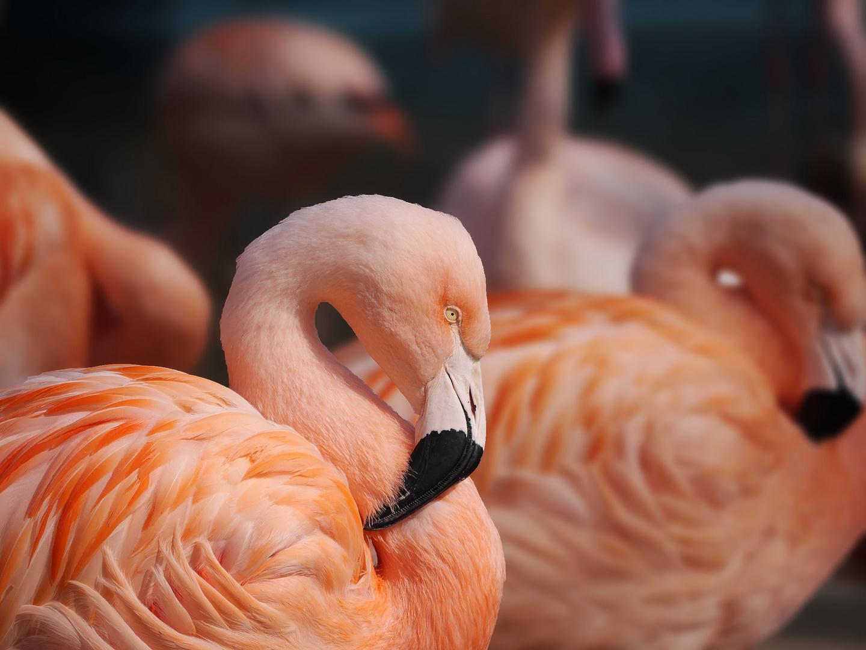 Flamingo Frühling