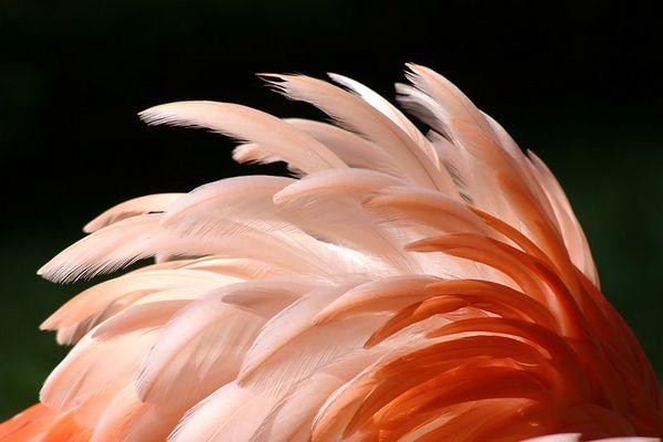 Flamingo Gefieder