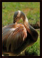 Flamingo ...il timido..