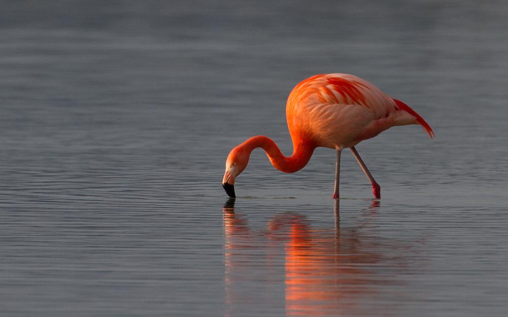 Flamingo im Forggensee