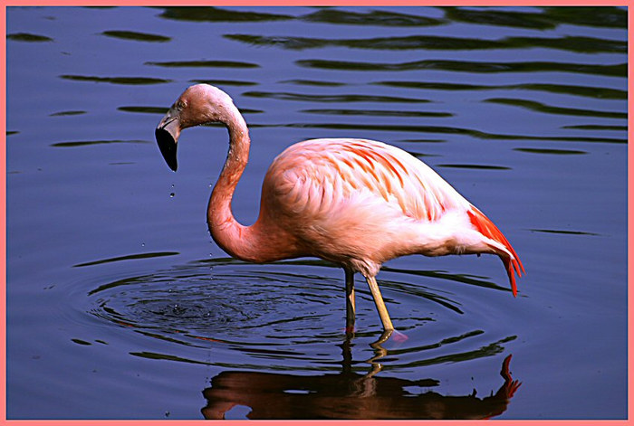 Flamingo im Nürnberger Zoo