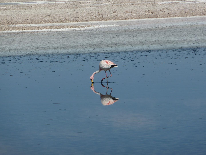 Flamingo im Salzsee