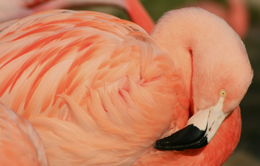 Flamingo im Zoo Hannover