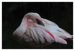 Flamingo in Centerparc Het Heijderbos.