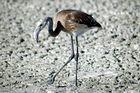 Flamingo in der Etoshapfanne