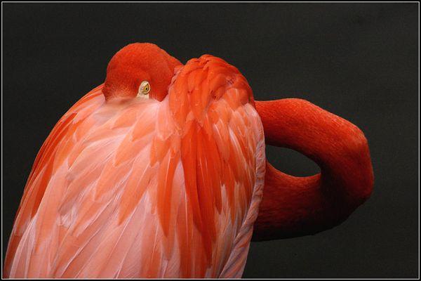 Flamingo in Diergaarde Blijdorp