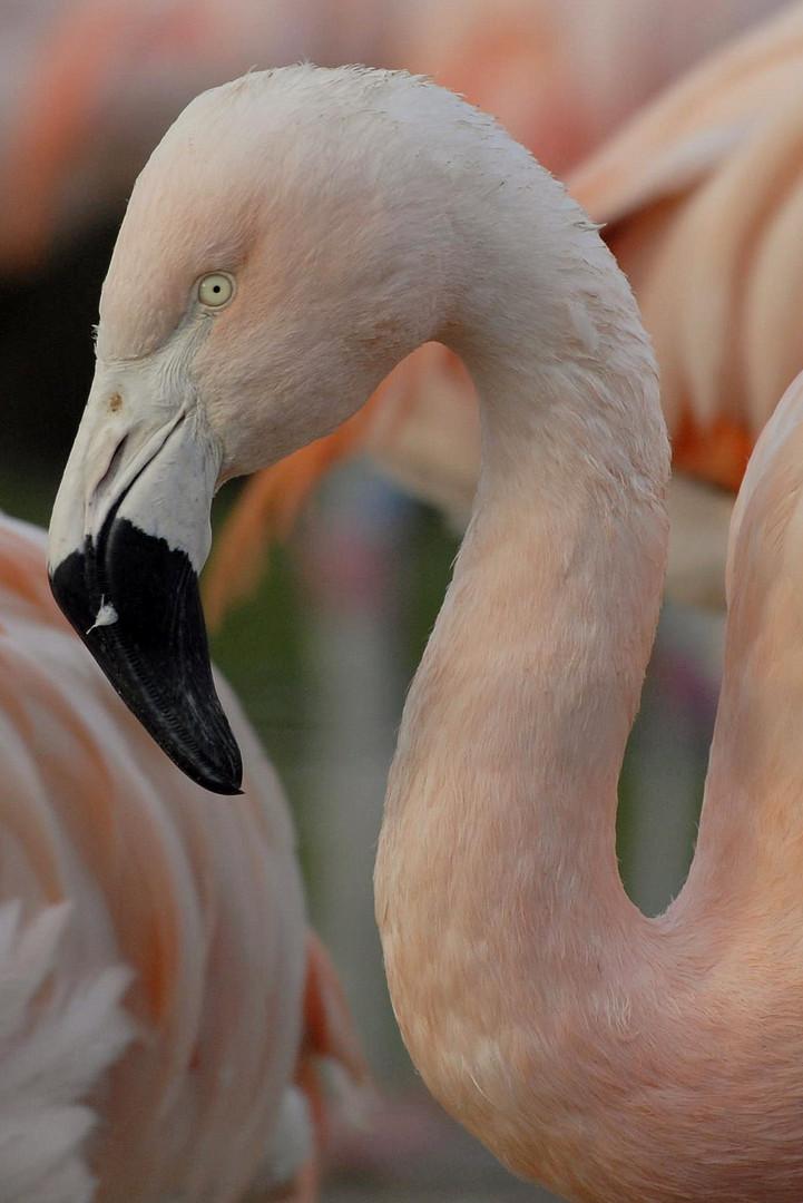 Flamingo-Landau