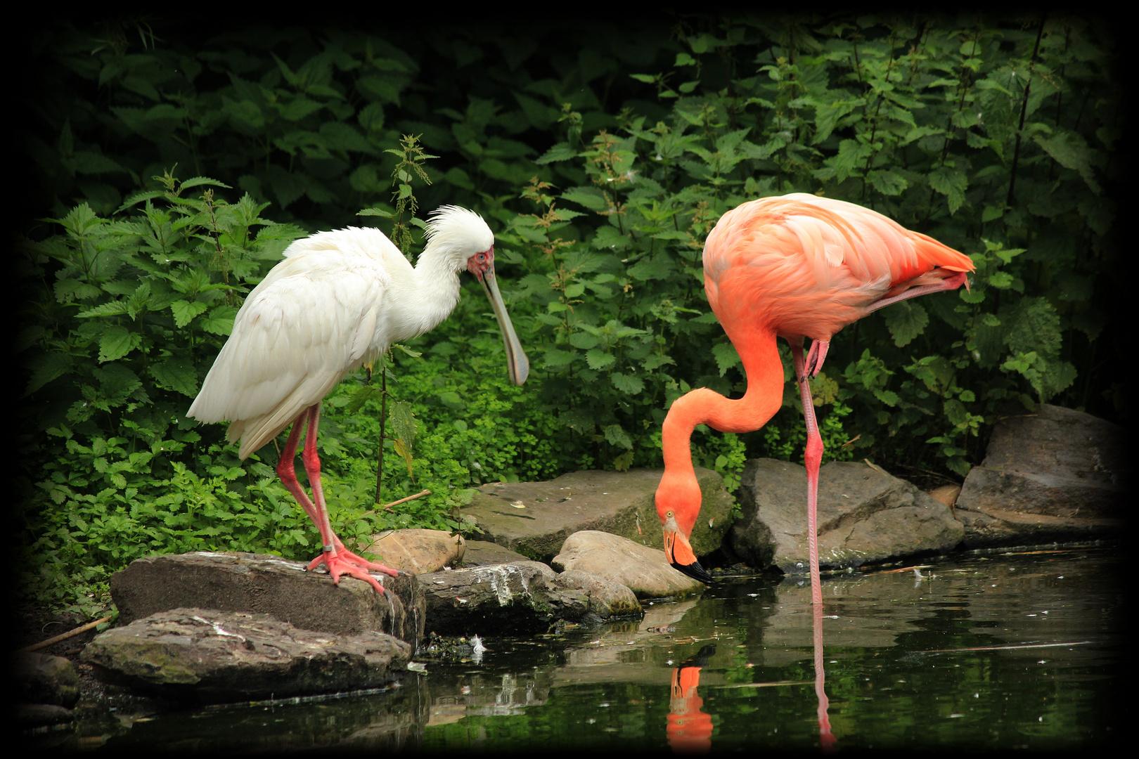 Flamingo & Löffelreiher im Freifluggehege in Essen/Grugapark