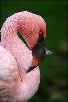 Flamingo - Portrait