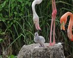 Flamingo - Prachtkind
