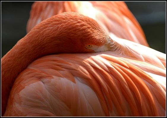 Flamingo Schönheit