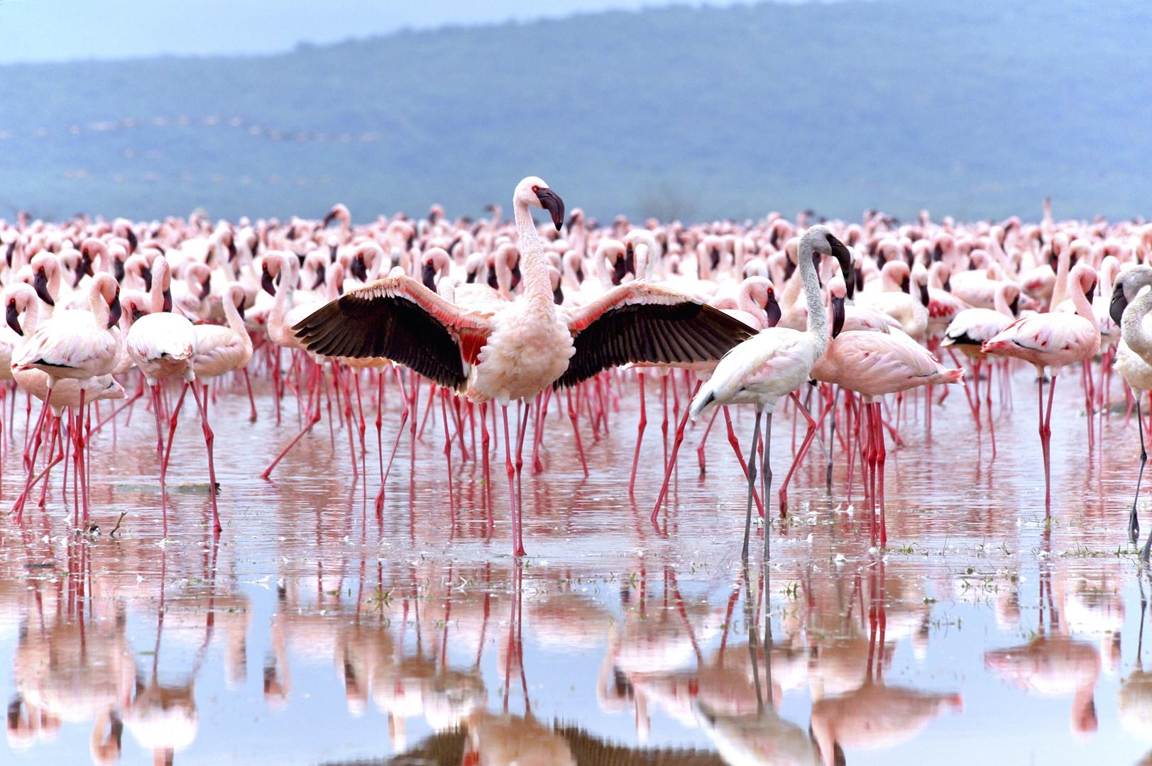 Flamingo umwirbt ein Weibchen