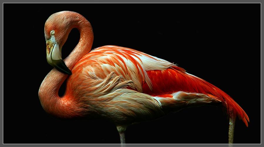 Flamingo, Zoo Hannover