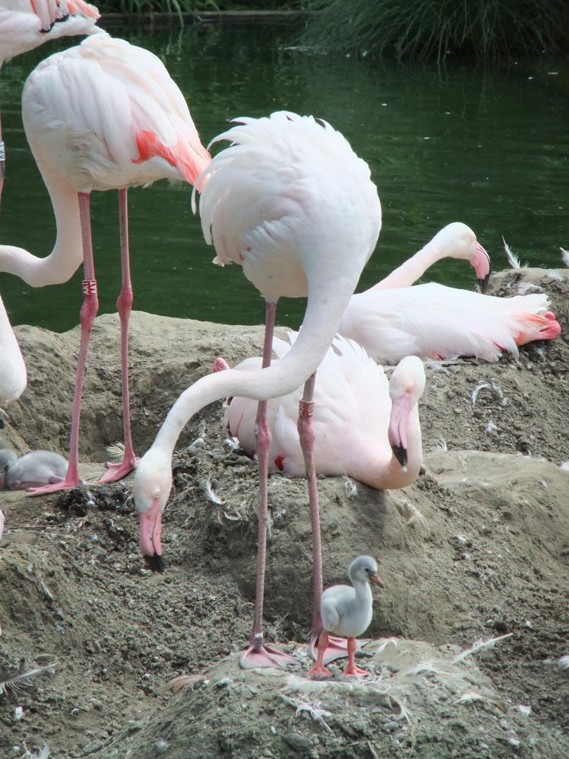 Flamingobaby