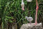 Flamingokind: Mütter sind multifunktional