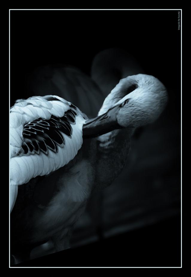 Flamingo_n/b