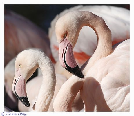 Flamingopaar