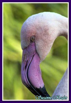 Flamingoporträt