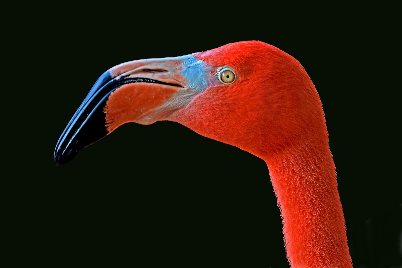 Flamingoportrait