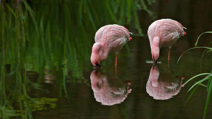 Flamingos 001a