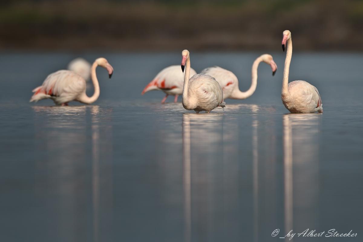 Flamingos am Meneou Pool
