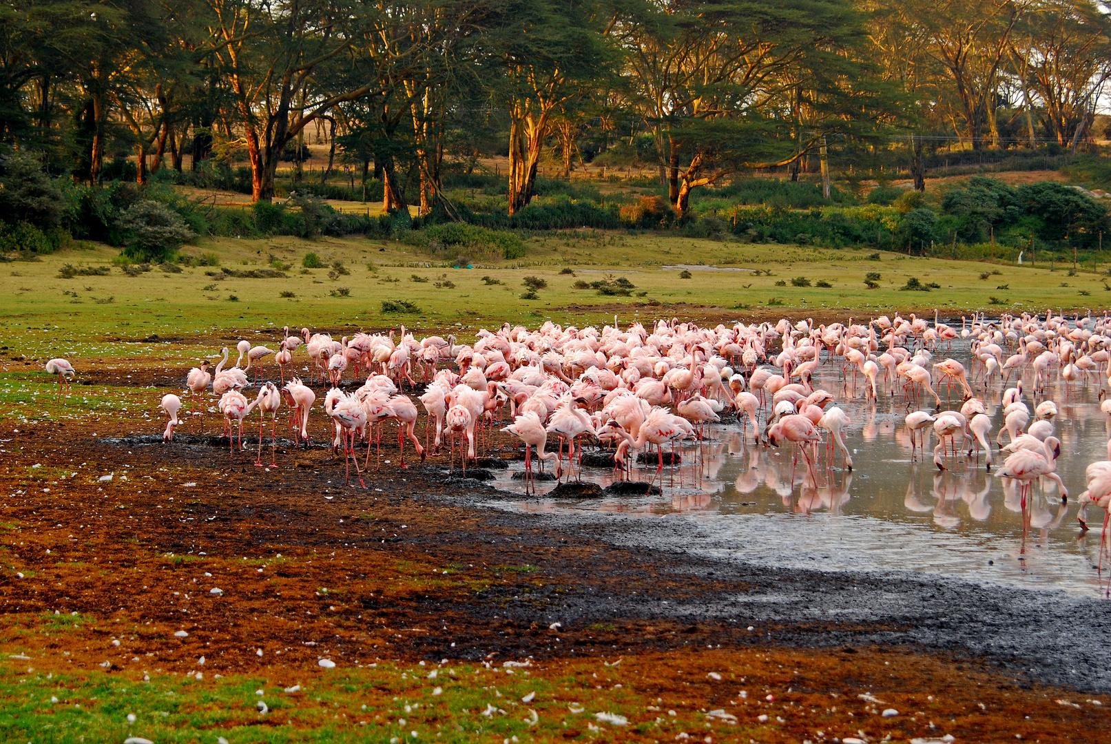 Flamingos am Seeufer