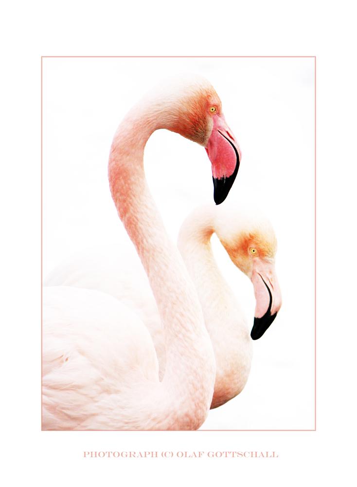 Flamingos - Anmut