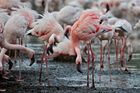 Flamingos Auge in Auge