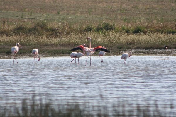 Flamingos bei Cabras