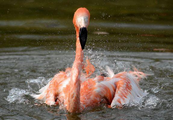 Flamingos beim Bad in der Frühlingssonne...