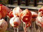 Flamingos beim Schlafen