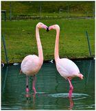 Flamingos beim Schnäbeln