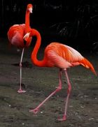Flamingos beim Sonnenspaziergang