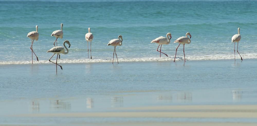 Flamingos beim Strandspaziergang