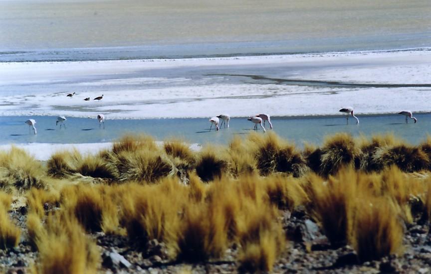 Flamingos im Altiplano II (Bolivien)