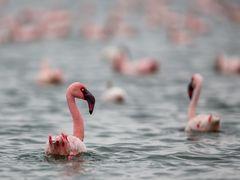 Flamingos im Lake Naivasha, Kenia