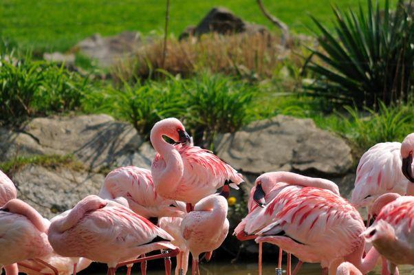 Flamingos im Leipziger Zoo