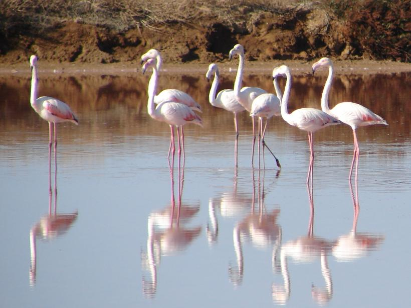 Flamingos im Ria Formosa, Algarve