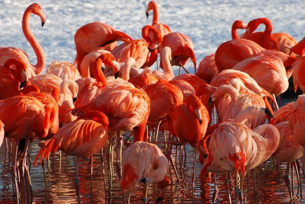 Flamingos im Schnee