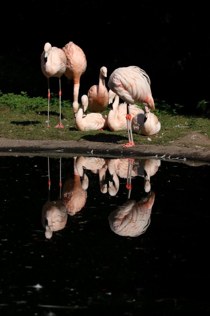 Flamingos im Spiegelbild