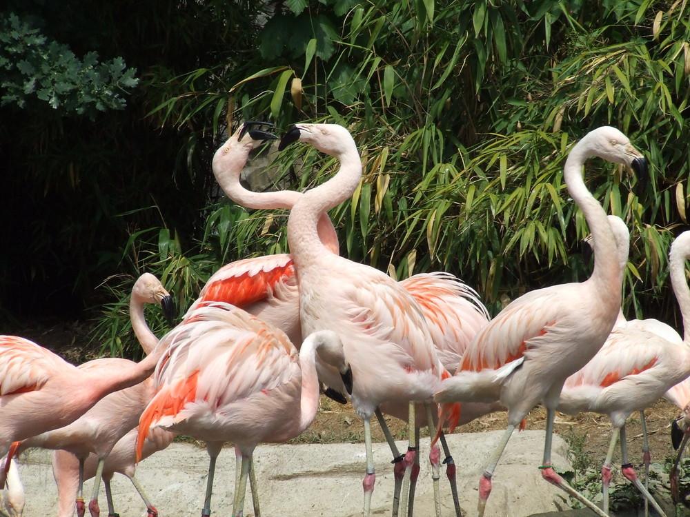 Flamingos im Streit