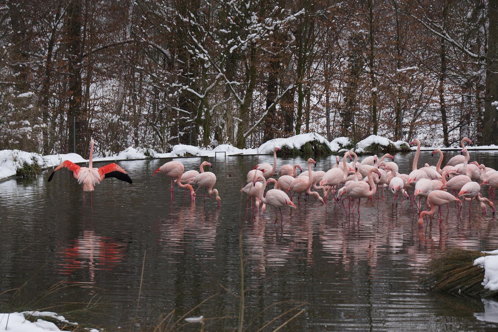 Flamingos im Winter ( Tierpark Dällhölzli Bern )