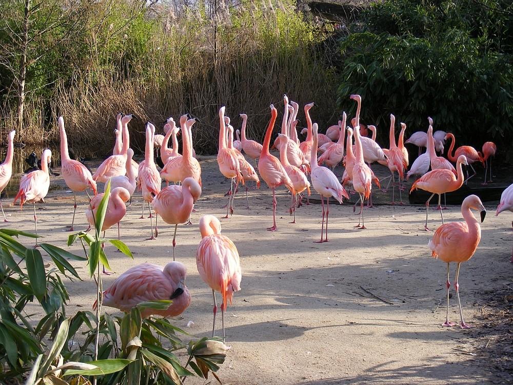 Flamingos im Zoo Hannover