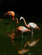 Flamingos im Zoo Schmiding