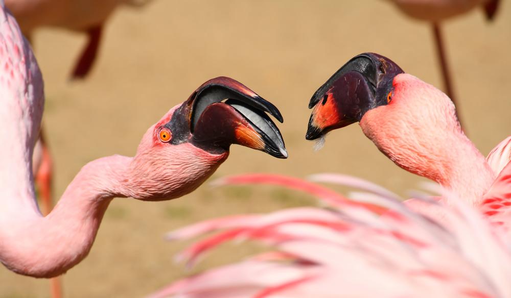 Flamingos im Zwiegespräch