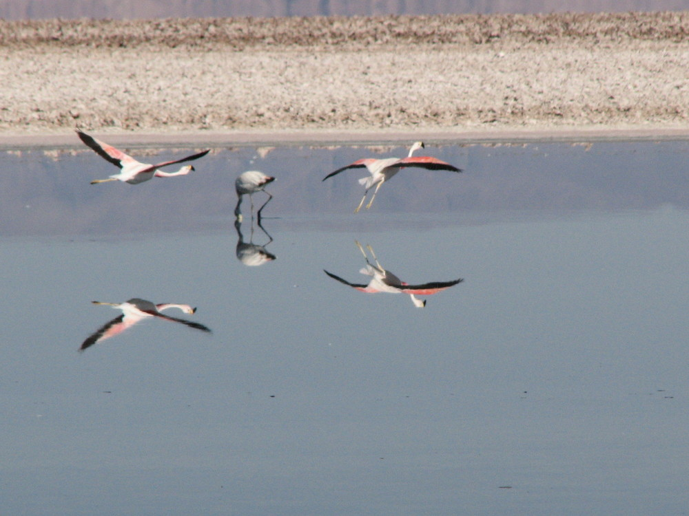 Flamingos in Atacama Desert, Chile