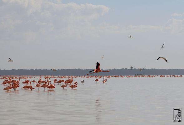 Flamingos in Celestún Mexiko