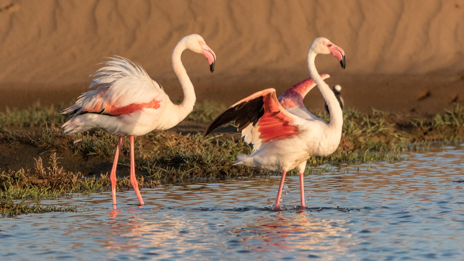 Flamingos in der Abendsonne
